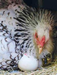 A Year-Round Chicken Care Calendar - Backyard Poultry Best Egg Laying Chickens, Types Of Chickens, Raising Chickens, Backyard Poultry, Backyard Chicken Coops, Chickens Backyard, Best Chicken Coop, Chicken Feed, Farm Chicken