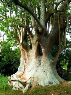 "Did you know that there are bushes the size of large trees? In the Pampas grasslands in South America there is a ""tree"" called the Ombu. It is the only tree-like plant that lives on the Pampas because it does not need a lot of water to survive. Bonsai, Unique Trees, Old Trees, Evergreen Trees, Nature Tree, Tree Forest, Jolie Photo, Plantar, Tree Art"