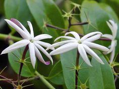 Jazmín Azórico: especies y variedades