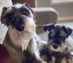 Standard Schnauzer, Mini Schnauzer, Miniature Schnauzer, Cute Cats And Dogs, Animals And Pets, Dogs And Puppies, Mountain Dogs, Bernese Mountain, Puppy Room