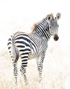 View top-quality stock photos of Beautiful Zebra Portrait. Find premium, high-resolution stock photography at Getty Images. Fine Art Prints, Framed Prints, Canvas Prints, Baby Zebra, Watercolor Animals, Illustrations, Beautiful Horses, African Art, Wildlife Photography