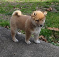 Shiba Inu Puppy-in a year or so this pup will finally be mine!!!