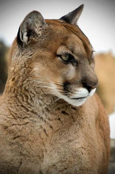 Beautiful Mountain Lion