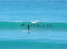 A pod of 9 dolphins surfing a wave behind a stand-up paddle boarder - talk about an experience! ~ Rob Davis Elouera Beach, Cronulla, Sydney, NSW, Australia