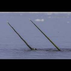 As if choreographed, two male Narwhals with long tusks do a beautiful courtship dance by waving their tusks through the cool Arctic air at one in the morning at the Baffin Island floe edge.