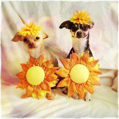 Funny Dog CardChihuahua Card HelloSunshine Card by PenelopeBelles, $5.00