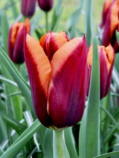 Tulipa Muvota 25x - Flower Bulbs R Us Tulip Bulbs, Fall Plants, Bulb Flowers, Tulips, Bloom, Rose, Pink, Roses, Tulip