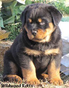 Rottweilers Puppy!!!