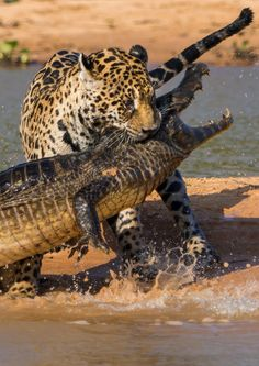 Jaguar showing its impressive power here, taking this large, fat caiman [crocodile] for dinner with a crushing bite to the back of the neck. Beautiful Cats, Animals Beautiful, Beautiful Pictures, Chat Lion, Animals And Pets, Cute Animals, Gato Grande, Ocelot, Tier Fotos