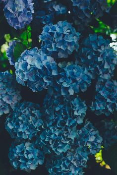 Hydrangea Wallpaper, Flower Iphone Wallpaper, Flower Backgrounds, Nature Wallpaper, Beautiful Flowers Garden, Love Flowers, Vintage Flowers, Hydrangea Tree, Hydrangea Bloom