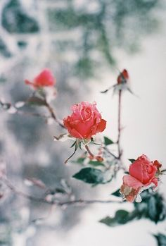 grafika rose, flowers, and nature Winter Rose, Winter Beauty, Love Rose, Photos Du, Beautiful World, Beauty And The Beast, Mother Nature, Red Roses, Rose Flowers