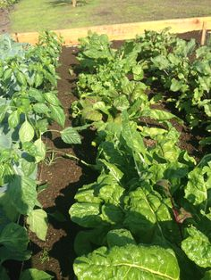 My leafy greens look good if I remember to spray BT or Neem.