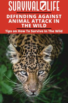 While out in the wilderness, it is important to keep in mind that this is not just human territory. It is the territory of many different packs of wild animals. Know how to defend against wild packs of animals with this short list of defense tips against attacks of various wild animals such as wolves, coyotes, bears, raccoons and even birds. #SurvivalLife #Survival #Wild #OnHumans