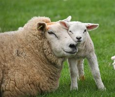 Motherly Love - Lamb & Ewe by Rob_Brooks, via Flickr