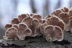 Split Gill pilz Schizophyllumcommuneh 730 Gramm getrocknete Grade A von JOHNLEEMUSHROOM NOEN, http://www.amazon.de/dp/B01908XUYU/ref=cm_sw_r_pi_awdl_cDGaxb1PKCRTN