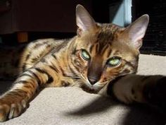 Image detail for -Cats Wallpapers - Bengal cat relaxing wallpaper