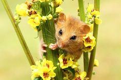 A dormouse peeking through flowers