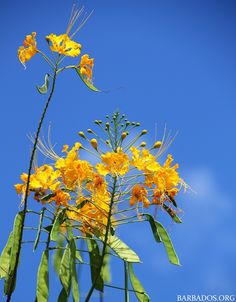 Celebrating the month of Independence in Barbados with the Pride of Barbados flower and our national colours blue and gold!