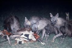 Hyaena Specialist Group - Gallery: Brown hyaena