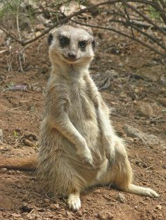 Meerkat.........This one reminds me of an old uncle of mine. All it needs is a cigar in its mouth.