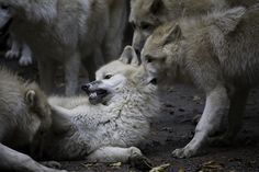 Wolves in general avoid aggressive encounters; they are friendly, advantageous, almost docile. But, when challenged or disturbed, they show dominance. This photo captures it all. Wolves are beautiful.
