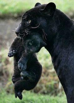 panthére et son petit