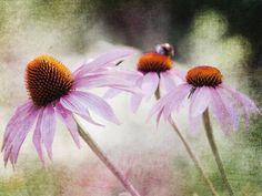 Uta Naumann: Echinacea - Leinwandbild auf Keilrahmen Leinwandbilder