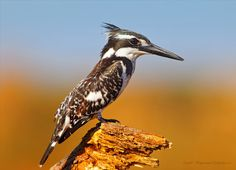 Pied Kingfisher by Elizabeth  E. on 500px