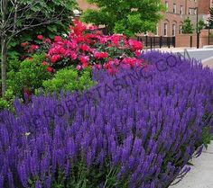 May Night Salvia May Night Salvia, Plant Pictures, Gardening, Landscape, Plants, Lavender, Scenery, Lawn And Garden