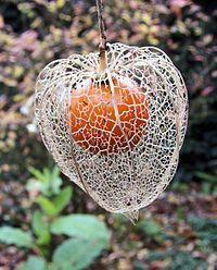 Echte lampionplant - Wikipedia