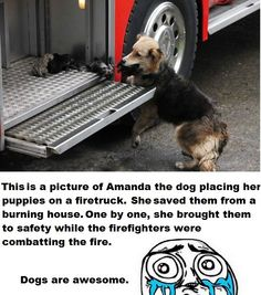 'This is a picture of Amanda the dog placing her puppies on a firetruck. She saved them from a burning house. One by one, she brought them to safety while the firefighters were combating the fire. Dogs are awesome!""