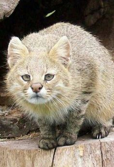 This is a Colocolo wild cat, what an awesome face he has don't you think?