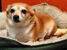 Prince is an adoptable Chihuahua Dog in Reading, PA. We do not list all our pets on Petfinder. For more pictures of our adoptable pets, please visit our website at: www.berkshumane.org Thank you for c...