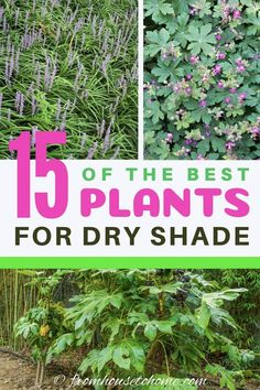 15 of the Best Plants For Dry Shade Gardens - Gardening @ From House To Home - - These dry shade plants are perennials and shrubs that will survive in the less-than-ideal growing conditions under eaves and trees. Shrubs For Dry Shade, Best Plants For Shade, Dry Shade Plants, Shade Garden Plants, Perfect Plants, Cool Plants, Grasses For Shade, Best Perennials, Shade Perennials