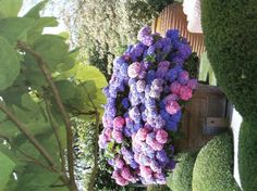 Gorgeous Hydrangea planter. I don't know how they have both pink and blue in one container.