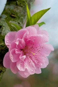 Flor de cerejeira.