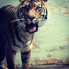Photography by Sharnie Bethell. Taronga Zoo. Sumatran Tiger