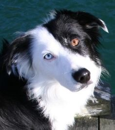 Border Collie - I know this is not a house dog. They are terrible pets but they are just so gorgeous!
