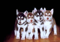 i will own a Siberian Huskey one day :D I want a red one, with two dif colored eyes, sooo cute!