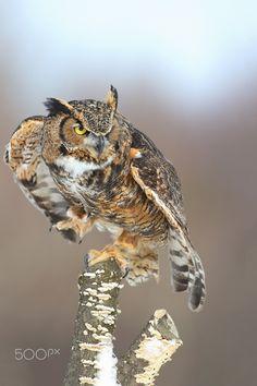 by Denis Dumoulin on Raptor Bird Of Prey, Birds Of Prey, Owl Photos, Owl Pictures, Beautiful Owl, Animals Beautiful, Beautiful Things, Owl Wings, Short Eared Owl