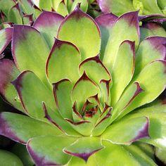 Sempervivum Cultivar - Royanum love this