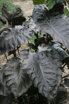 """Colocasia esculenta 'Black Coral' PP 23,896 Black Coral Elephant Ear  Item #: 9580 Zones: 7b to 10b Height: 42"""" tall Culture: Sun to Part Sun Origin: Eastern Asia Pot Size: 3.5"""" pot (24 fl. oz/0.7 L) Learn more about our pot sizes.  PDN Guarantee $19.00"""