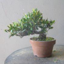盆栽:タチバナモドキ |春嘉の盆栽工房