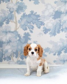 Cavalier King Charles Puppy Cute Puppies, Cute Dogs, Dogs And Puppies, Doggies, King Charles Puppy, Cavalier King Charles, Funny Animals, Cute Animals, Up Dog