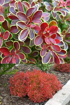 Ful sun best for coloration, will tolerate part sun, Plant apart for hedge appearance or apart for spacing in between. Garden Shrubs, Patio Plants, Garden Plants, Indoor Plants, Landscaping Retaining Walls, Landscaping Plants, Beautiful Flowers Garden, Beautiful Gardens, Ornamental Horticulture