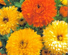 Como cultivar suas próprias Flores Comestíveis - Jardim de Flores