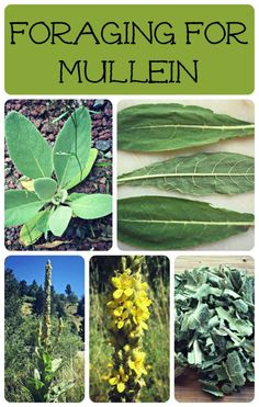 Herbal Medicine Foraging for Mullein - One of the most recognizable, medicinal and useful plants, foraging for mullein is easy and fun! Permaculture, Medicinal Weeds, Edible Wild Plants, Herbs For Health, Wild Edibles, All Nature, Healing Herbs, Herb Garden, Fruit Garden