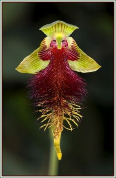 Calochilus grandiflorus (Benth.) Domin 1915 Photo by © John Carl Andrew and the Australian Orchids On line Blog