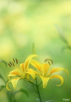 03715a0d028 HBW ~yellow lily~ by Hercio Dias