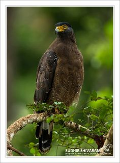 The crested serpent eagle (Spilornis cheela) is a medium-sized bird of prey that is found in forested habitats across tropical Asia. Within its widespread range across the Indian Subcontinent, Southeast Asia and East Asia,